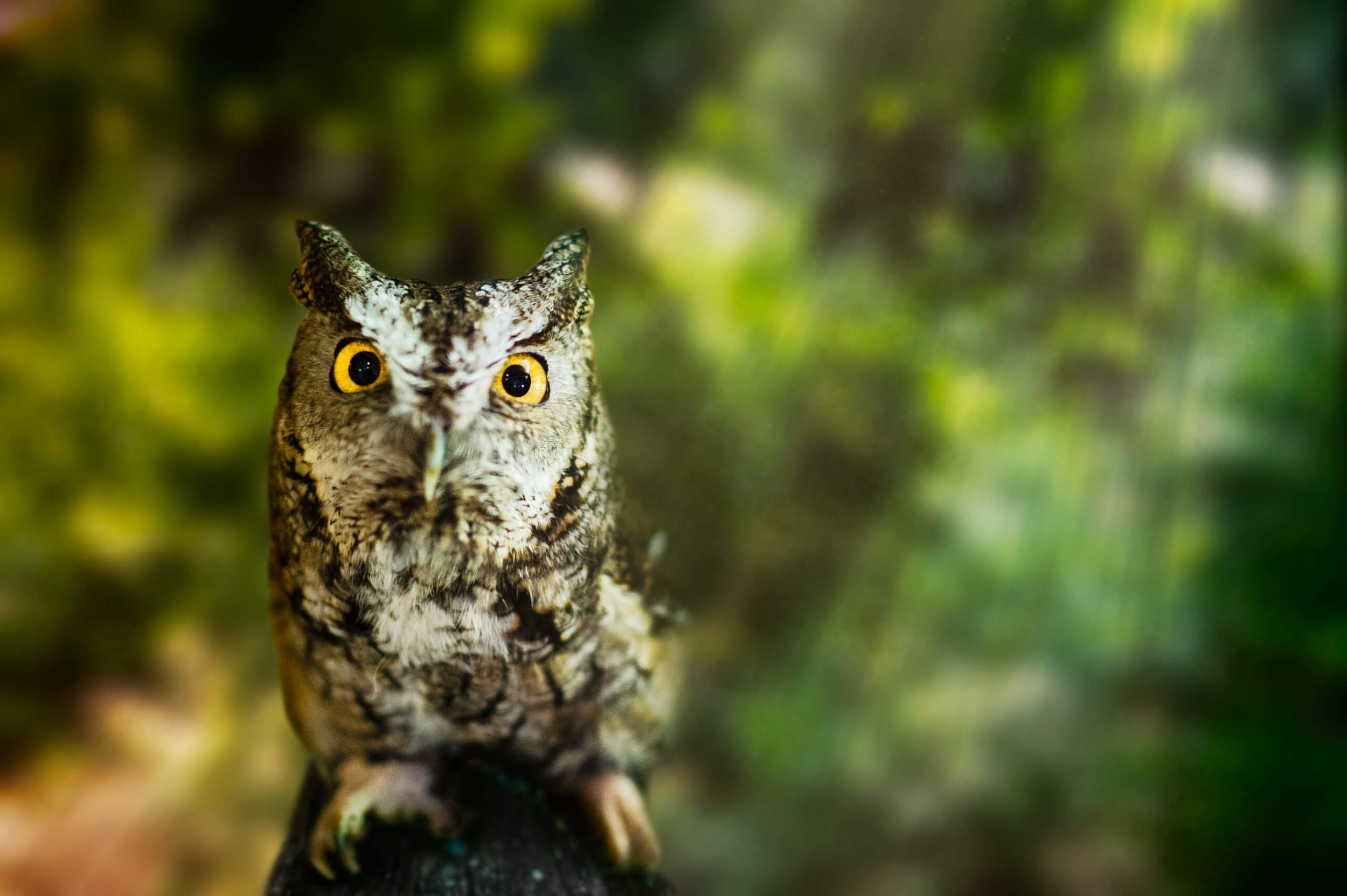 amicalola-falls-gray-morph-eastern-screech-owl